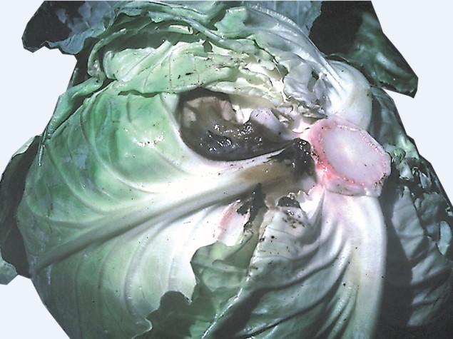tinctura apple adamo cu varicoză)